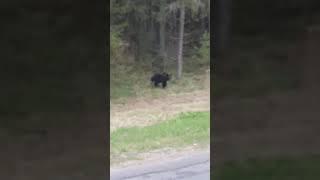 Медведь у деревни Кострица