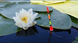 Активный клёв  крупного Карася и Язя.  Рыбалка на поплавок.