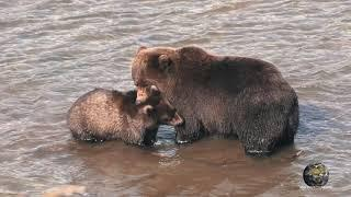 Мир Приключений -  Медведи на рыбалке. Курильское озеро. Камчатка. 4К. Bears fishing. Kamchatka.