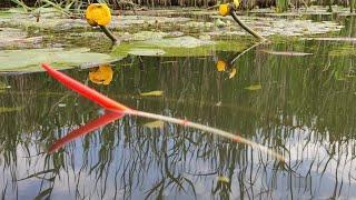 Ловля карася на ПОПЛАВОК в кувшинках - рыбалка на малой реке летом