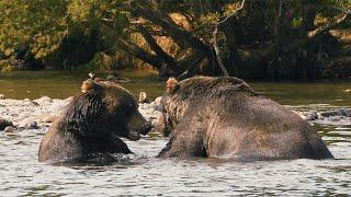 Мир Приключений - Медведи в дикой природе 4К. Курильское озеро. Камчатка. Wild bears of Kamchatka.